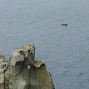 Insel Elba Delfin-Watching Capo d'Enfola - Delfin taucht auf