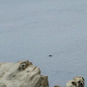 Insel Elba Delfin-Watching Capo d'Enfola - Delfin taucht wieder ab